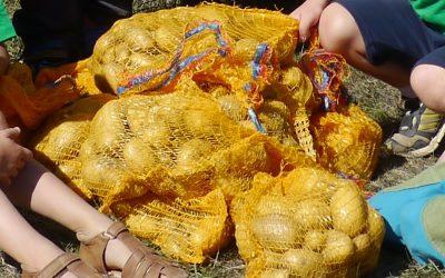 Am 12. September war es soweit: Die Fröbelkinder konnten ihre Kartoffeln ernten.